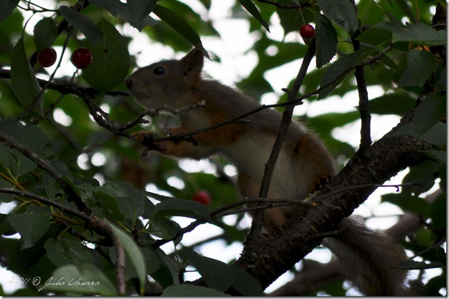 JPV-110726-11-30-6-Orava kirsikka varkaissa